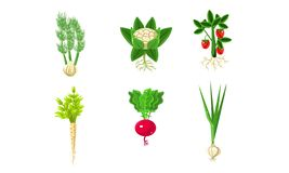 Free Vegetables With Leaves And Roots Set, Strawberry, Parsley, Onion, Radish, Fennel Vector Illustration Royalty Free Stock Image - 158053946