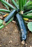 Vegetables - zucchini in the garden Royalty Free Stock Photography