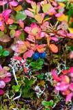 Vegetación colorida polar de la tundra Imagen de archivo libre de regalías
