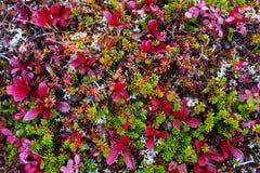 Vegetación colorida polar de la tundra Foto de archivo libre de regalías