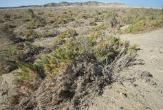 Vegetación de Bush en la duna de arena en desierto Imagen de archivo libre de regalías
