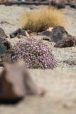 Vegetación de la manera al volcán de Teide, isla canaria, España Imagenes de archivo
