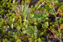 Vegetación de la tundra en Kola Peninsula Fotografía de archivo libre de regalías