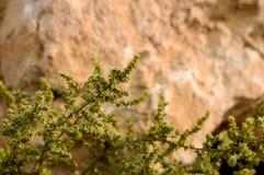 Vegetación del desierto en la superficie de piedra Fotos de archivo