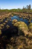 Vegetación del pantano en bosque Foto de archivo libre de regalías