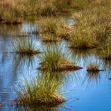 Vegetación del pantano en primavera Fotos de archivo libres de regalías