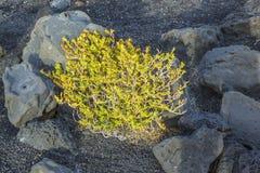 Vegetación escasa en las piedras volcánicas Imagen de archivo