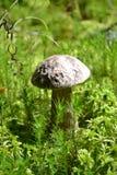 Vegetación forestal del musgo de la seta de las setas Foto de archivo