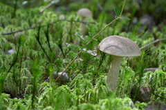 Vegetación forestal del musgo de la seta de las setas Imagen de archivo