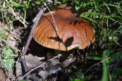 Vegetación forestal del musgo de la seta de las setas Foto de archivo libre de regalías