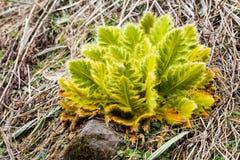 Vegetación melenuda única de la hoja en las montañas estériles de la mucha altitud en Nepal Imágenes de archivo libres de regalías