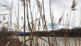 Vegetación que sopla en la brisa a lo largo del río Colorado metrajes