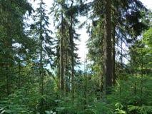 Vegetación salvaje de los bosques de la montaña Foto de archivo