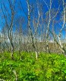 Vegetación terrestre densa en el bosque septentrional Fotografía de archivo libre de regalías