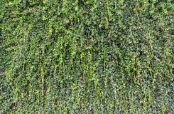 Vegetación verde en una pared vertical Imagenes de archivo
