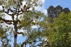 Vegetación rica y el top del templo antiguo del maya en Tikal Fotos de archivo