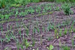 Vegetais crescentes Fotografia de Stock