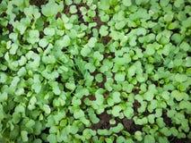 Vegetais crescentes organicamente Fotos de Stock Royalty Free