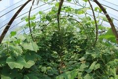 Vegetais da estufa Fotografia de Stock Royalty Free