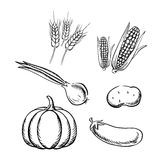 Vegetais do outono e ícones maduros do esboço do trigo Fotos de Stock Royalty Free