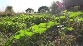 Vegetais do pulverizador do indivíduo do vaqueiro no campo de exploração agrícola Tratamento dos centrais química 4K filme