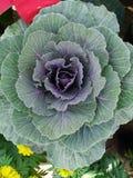 Vegetais do repolho com folhas Fotografia de Stock Royalty Free