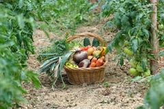Vegetais dois da colheita Imagens de Stock Royalty Free