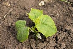 Vegetais dos pepinos com folhas e flores Fotos de Stock Royalty Free