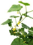 Vegetais dos pepinos com folhas e flores Pepino com as folhas e as flores isoladas no whit Fotografia de Stock Royalty Free