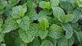 Vegetais e hortelã Imagens de Stock