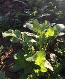 Vegetais em uma exploração agrícola orgânica imagem de stock royalty free