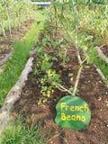 Vegetais, exploração agrícola orgânica Fotografia de Stock Royalty Free
