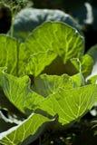 Vegetais frondosos dos verdes Fotografia de Stock
