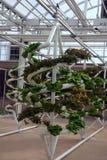Vegetais hidropónicos Fotografia de Stock