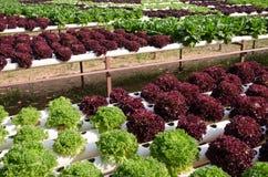 Vegetais hidropônicos Fotografia de Stock Royalty Free