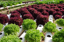 Vegetais hidropônicos Imagens de Stock