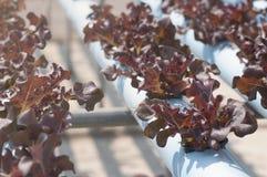 Vegetais hidropônicos Fotografia de Stock