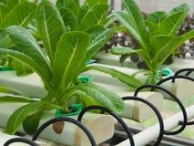 Vegetais hidropônicos na exploração agrícola Fotografia de Stock