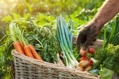 Vegetais na cesta e na mão do jardineiro Foto de Stock Royalty Free