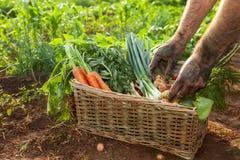 Vegetais nas mãos da cesta e do fazendeiro Fotos de Stock Royalty Free