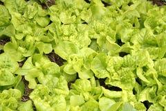 Vegetais no jardim Fotografia de Stock