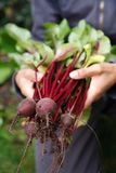 Vegetais orgânicos Imagens de Stock Royalty Free