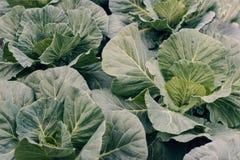 Vegetais orgânicos Couve-de-milão fresco colhido no jardim Imagens de Stock Royalty Free