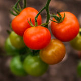 Vegetais orgânicos crescentes Imagem de Stock Royalty Free