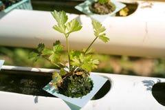 Vegetais orgânicos do coentro na tubulação de água Imagens de Stock