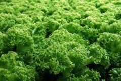 Vegetais orgânicos frescos da alface Fotografia de Stock Royalty Free