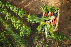 Vegetais orgânicos na caixa de vime no jardim Foto de Stock Royalty Free