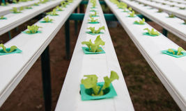 Vegetais verdes, crescimento orgânico sem solo Imagens de Stock
