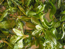 Vegetais verdes da alface Fotografia de Stock