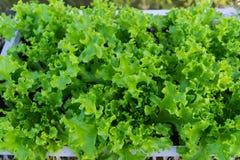 Vegetais verdes frescos Fotos de Stock